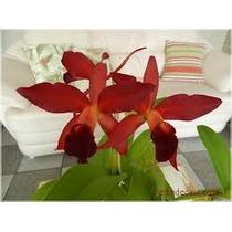 Orquidea Catleya Vermelha Adulta