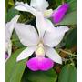 Orquídea Cattleya Walkeriana Semi Alba- Tókio X Cambara