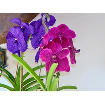 Orquídea Vanda - A Orquídea Gigante