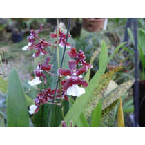 Orquidea Oncidium Sharry Baby Adulta