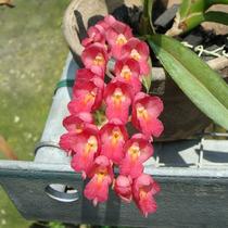 C Muda De Orquídea Rodriguesia Lanceolata 5cm