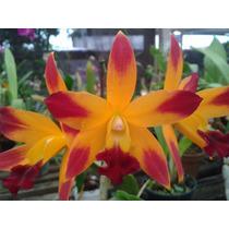 Orquídea Blc Hibridos Diversas