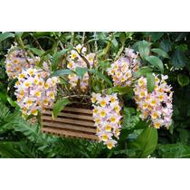 Dendrobium Mousmee, Orquídea, Muda, Planta
