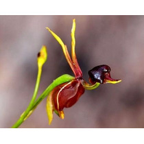 Orquídeas - 25 Sementes Selecionadas - Orquidea Pato Voador