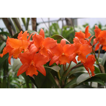 Orquídea Pot. ( William Farrell X Blc. Dan O