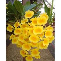 C Orquídea Dendrobium Agregatum 4cm