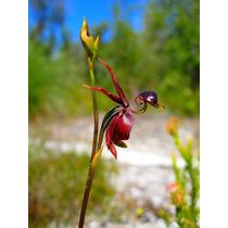Orquídea Pato Voador: (caleana Major) Frete Grátis 12 Sement