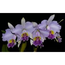 Orquídea Cattleya Lueddmaniana Semi Alba Bv Xmamacita