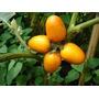 50 Sementes De Mana Cubiu - Solanum Sessiliflorum