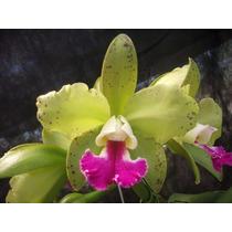 Orquídea Blc Tatarown