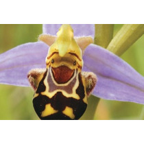 Orquídea Abelha/ Planta Flor Bonsai /rosa 10 Sementes
