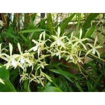 Muda De Orquídea Miltonia Flavescens- Orquídea Amor Perfeito