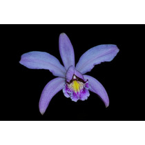 Orquídea Cattleya Violacea X Forbesi
