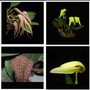 Promoção! Combo De Orquídea, Bulbophyllum, Lindas!