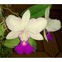 Cattleya Walkeriana Semi Alba - Adulta Enraizada Em Toquinho