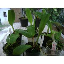 Pacote Com 6 Orquídeas