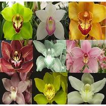 Orquídea Cymbidium - Cores Sortidas Por R$ 20,00