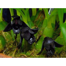 Orquídea Negra Maxillaria Schunkeana Adulta Promoção.