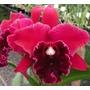 C Orquídea Cattleya Blc. Chia Lin ´golden Super´ Adulta