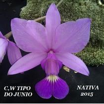 Orquidea Cattleya Walkeriana Tipo Junio Nativa
