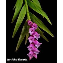 Orquidea Isochilus Linearis