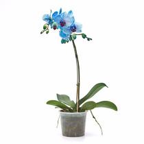 10 Sementes De Orquideas Phalaenopsis + Frete Gratis