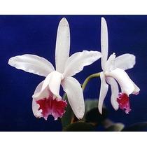 Orquidea Cattleya Intermedia Tipo