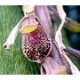 Orquídeas - R$ 8,00 Aunidade