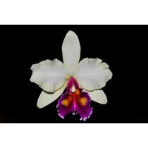 Orquídea Bc George King X Blc Toshie Aoko