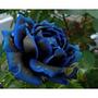10 Semente Rosa Exótica Rara Midnight + Frete Grátis