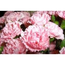 Sementes De Cravos Gigantes Rosa - A Flor Do Homem