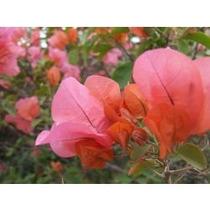 Mudas De Buganvilia Salmom 25,00 Muda Adulta Com Flores