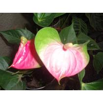 Muda De Antúrio Verde E Rosa Por 35,00 Especial P/ Coleção