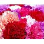 Sementes De Cravos Gigantes Sortidos - A Flor Do Homem