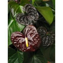 Mudas De Antúrio Cores Espéciais Flores Grande - Novidade