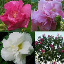 Sementes De Hibisco Mutabilis Hibiscus Rosa Louca Paulista