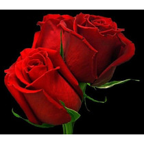 10 Sementes De Rosa Vermelhas Holandesa + Frete Gratis