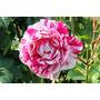 Rosas Exóticas - 60 Sementes 6 Cores