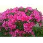 Azaleia - Rhododendron - Mudas Com 80 Cm De Altura