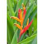 Mudas De Heliconia Psittacorum (salvador/ba)