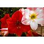 Bulbos De Amarylis Vermelho E Rosa Mesclado De Branco