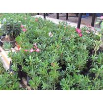 10 Mudas Rosa Do Desero Adenium Obesum 8 Meses Só R$ 99,99!!