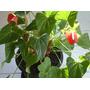Muda De Anturio - Anthurium Andraeanum