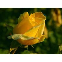 Mudas De Rosas Enxertadas - Kit Com 3 Mudas De Lindas Rosas