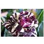 200 Sementes Rosas Exóticas 4 Tipos E Cores- 50 De Cada Cor