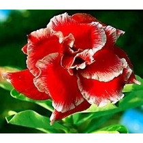 100 Sementes De Rosa Do Deserto Mix - Adenium Obesum