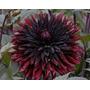 Bulbos De Dálias Cactus Bordo Dahlia Gigante