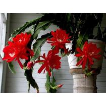 Cacto Orquidea- Epiphullum Disocactaus Red