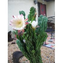 Muda De Cereus Peruvianus Monstrosus (tocha Peruana)
