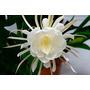 Dama Da Noite Branca - Cacto Orquídea- Epiphyllum Oxypetalum